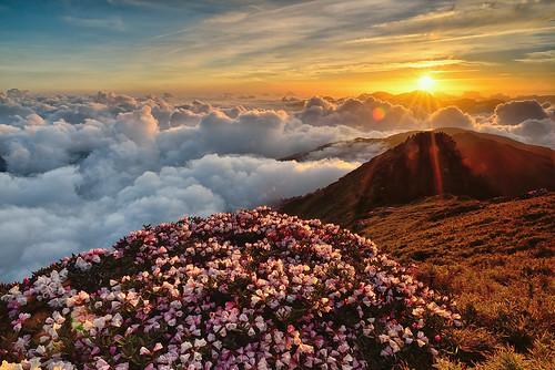 Alpine flowers above clouds 雲端之花, 合歡山高山杜鵑
