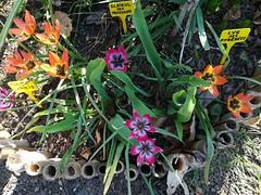 Tulipe Humilis