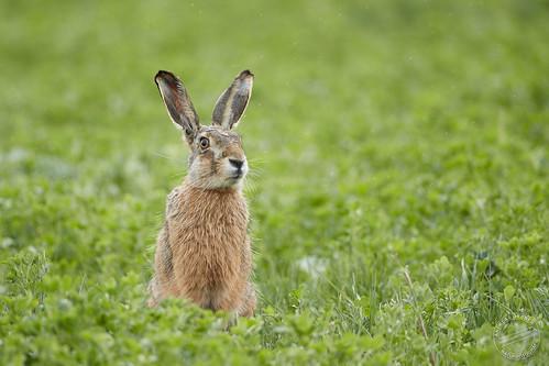 Feldhase - European hare - Lepus europaeus