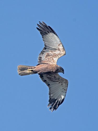 Falco di palude - Circus aeruginosus - Western Marsh-Harrier