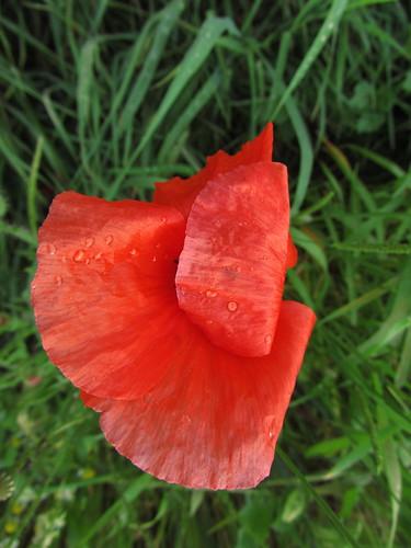 20120606 099 Blume Mohn rot_K