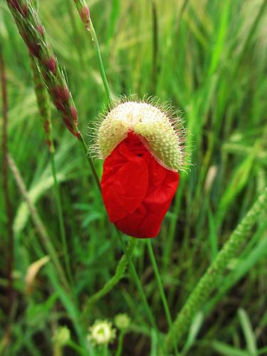 20120606 103 Blume Mohn rot Knospe_K