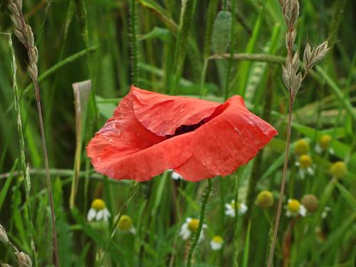 20120606 124 Blume Mohn rot_K