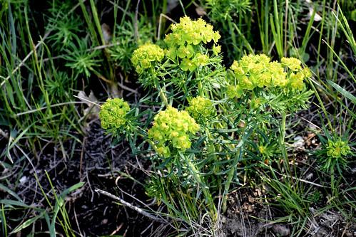 [Euphorbiaceae] Euphorbia cyparissias (Zypressenblättrige Wolfsmilch) †