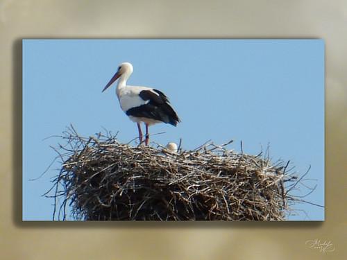 Cigognes dans leur nid