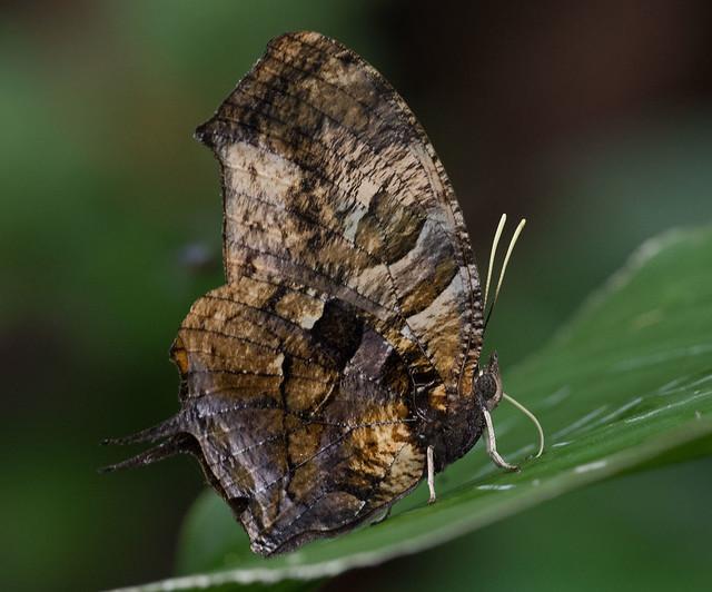 Consul-fabius,-Tiger-Leafwing,-Sunstreak-Tours-butterflies-2018-Oct-29,-Apuya,-Napo,-Ecuador,-JGlassberg---4788