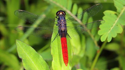 Flame-tailed Pondhawk - Erythemis peruviana