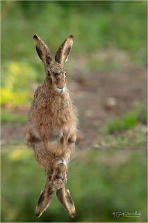 Reflection of a Hare