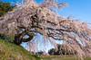Photo:『宮の原しだれ桜』長野県伊那市 By kzy619