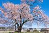 Photo:『見通し桜』長野県伊那市 By kzy619