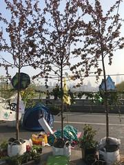 Trees on Waterloo Bridge