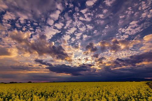 A sunset in the Field of Colza threatening me the Sky ......, Un atardecer en el Campo de Colza amenazándome el Cielo......