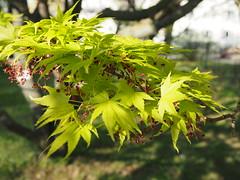 Acer palmatum - Aceraceae - Thunb. ex Murray - Fächer-Ahorn - Japan. Korea -13019 - Botanischer Garten der Universität Wien