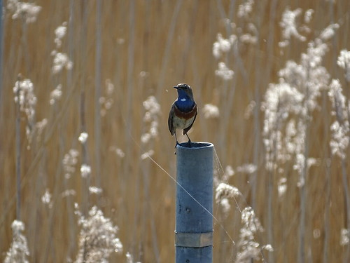 Blauwborst | Bluethroat (Luscinia svecica) | Zuidlaardermeer nl