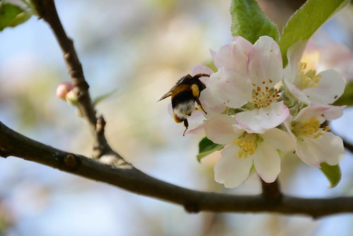 The bumblebee and the flowers of the apple tree