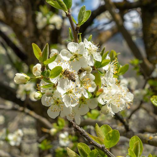 Blossom@Poschiavo: Cherry with bee (1/6)