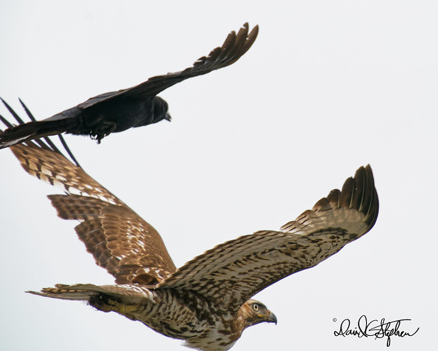 Crow Attacks Red-tail Hawk