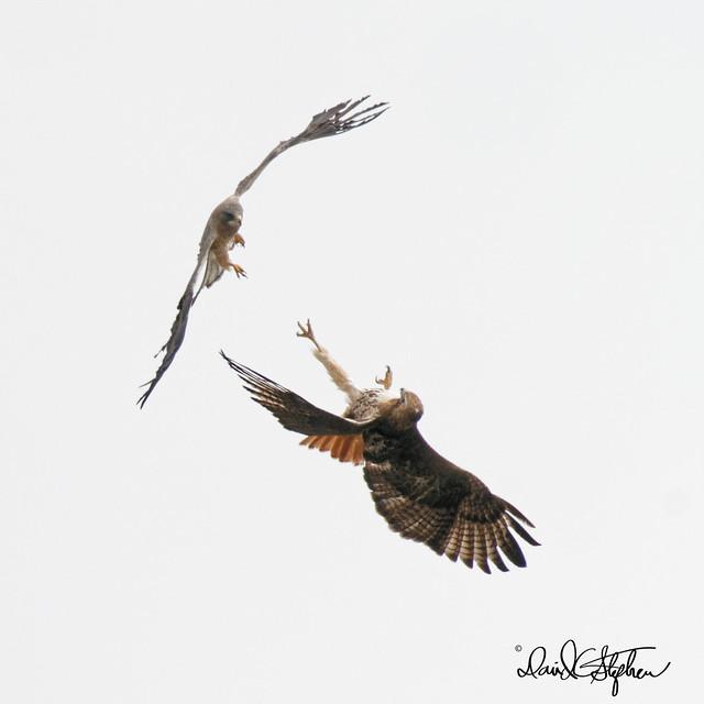 Attack!! Cooper's Hawk Attacks Red-tail Hawk