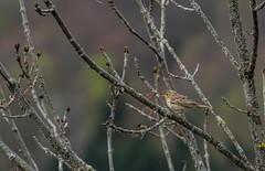 Pipit des arbres - Photo of Herran