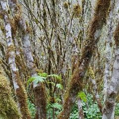 dense #vinemaple #forest#hiking #PNW