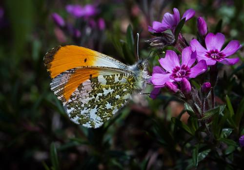 Schmetterlinge_23