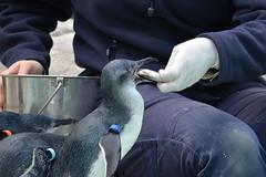 Penguin Lunch