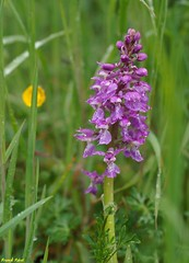 Orchis Mâle - Variation - Echay