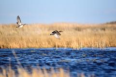 Green-winged teal at Seedskadee National Wildlife Refuge