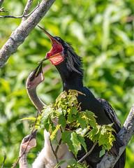 Sawgrass Park Anhinga Feeding Chicks