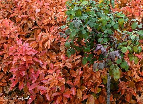 setos en Ferez - cervene listy y rosal