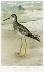 Greater yellowlegs vintage drawing
