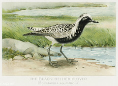 Black–Bellied Plover vintage drawing