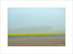 Colza et brouillard...