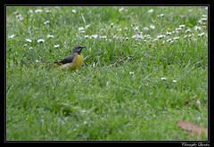 Bergeronnette des ruisseaux (Motacilla cinerea) - Photo of Vannaire