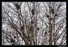 Nids de corbeaux freux (Corvus frugilegus)