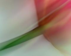 tulpe_6