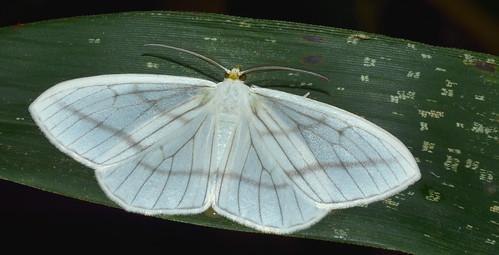 Lepidoptera, Brazil, Atlantic rainforest