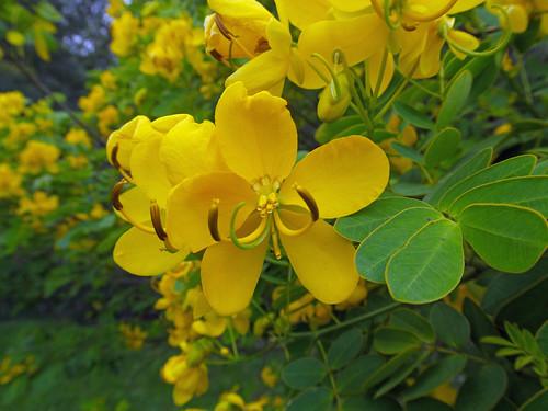 Senna pendula flower NC2