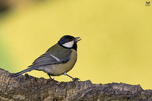 Chapim-real, Great Tit (Parus major)