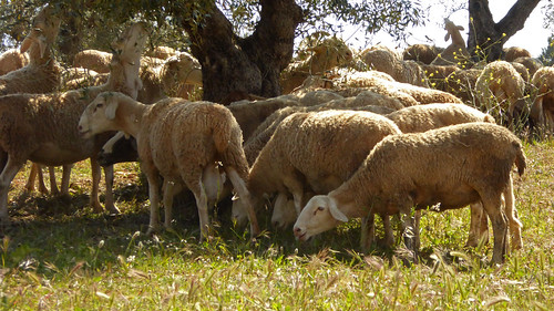 Flock of sheep - Granada 2019