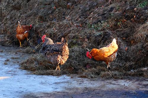 Happy hens -