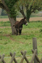 One of three donkeys - Photo of Montbel