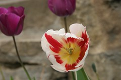 Camon Tulip - Photo of Lagarde
