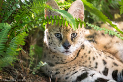 Big Cat Rescue Serval