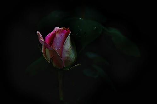 Love...It Is A Flower
