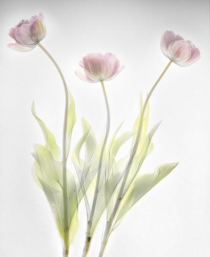 Tulips fusion X-ray photo