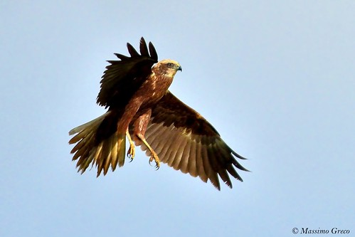 Falco di palude (Circus aeruginosus)