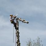 Ścinka sekcyjna brzozy (Szczytniki)