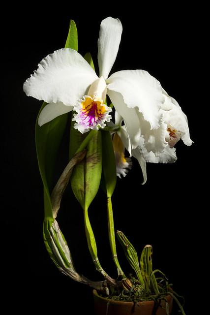 Photo:[Venezuela] Cattleya mossiae fma. semi-alba 'Canaima's Grande' C.Parker ex Hook., Bot. Mag. 65: t. 3669 (1838) By sunoochi