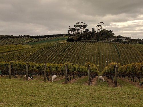Cable Bay Vineyards (with sheep)